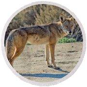 Alert Coyote Round Beach Towel