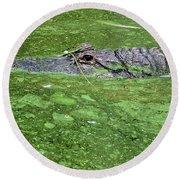 Alligator In Swamp Round Beach Towel