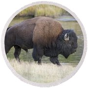 American Bison On The Madison River Round Beach Towel