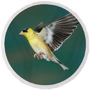 American Goldfinch Male-flying Round Beach Towel