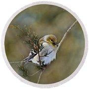 American Goldfinch On A Cedar Twig Round Beach Towel
