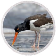 American Oystercatcher Feeding On Clam Round Beach Towel