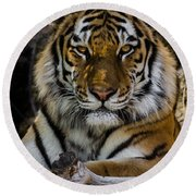 Amur Tiger Watching You Round Beach Towel