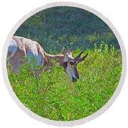 Antelope Near Wildlife Loop Road In Custer State Park-south Dakota- Round Beach Towel