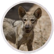 Arabian Wolf Canis Lupus Arabs Round Beach Towel