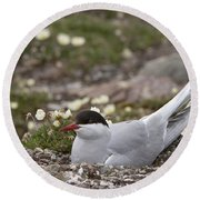 Arctic Tern In Its Nest Round Beach Towel