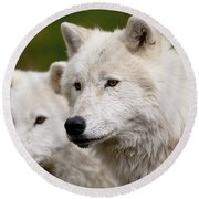Arctic Wolf Picture 247 Round Beach Towel