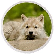 Arctic Wolf Pictures 1118 Round Beach Towel