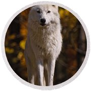 Arctic Wolf Pictures 33 Round Beach Towel