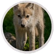 Arctic Wolf Pictures 345 Round Beach Towel