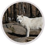 Arctic Wolf Pictures 512 Round Beach Towel