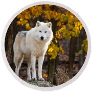 Arctic Wolf Pictures 709 Round Beach Towel