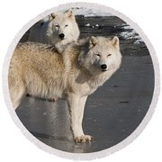 Arctic Wolf Pictures 812 Round Beach Towel