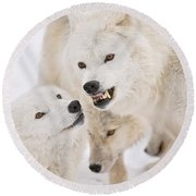 Arctic Wolf Pictures 872 Round Beach Towel