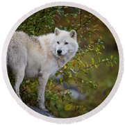 Arctic Wolf Pictures 922 Round Beach Towel
