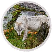 Arctic Wolf Pictures 927 Round Beach Towel