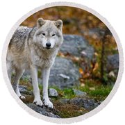 Arctic Wolf Pictures 942 Round Beach Towel
