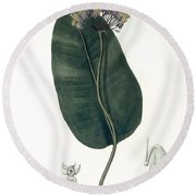 Asclepias Syriaca From Phytographie Round Beach Towel