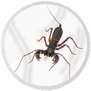 Asian Whipscorpion Round Beach Towel