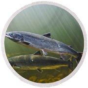 Atlantic Salmon Adults Migrate From Round Beach Towel