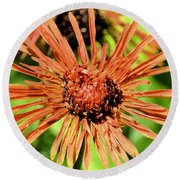 Autumn's Gerber Daisy Round Beach Towel