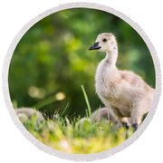 Baby Duckling In The Morning Light Round Beach Towel