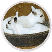Baby Goats Lying In Food Pan Round Beach Towel
