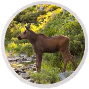 Baby Moose Baxter State Park Round Beach Towel
