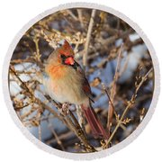 Backyard Birds Female Nothern Cardinal Square Round Beach Towel