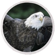 Bald Eagle Landing On Prey Round Beach Towel