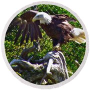 Bald Eagle With A Broken Wing In Salmonier Nature Park-nl Round Beach Towel