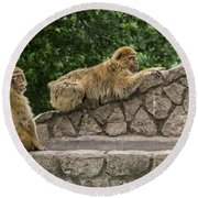 Barbary Macaques Round Beach Towel
