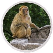 Barbary Macaque Round Beach Towel