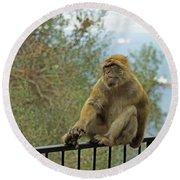 Barbary Macaque  Round Beach Towel