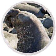 Bull Elephant Seal Battle Scars Round Beach Towel