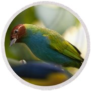 Bay-headed Tanager - Tangara Gyrola Round Beach Towel