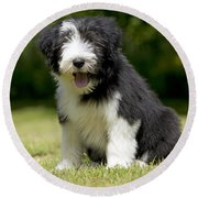 Bearded Collie Puppy Round Beach Towel
