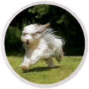 Bearded Collie Running Round Beach Towel