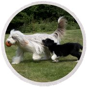 Bearded Collies Playing Round Beach Towel by John Daniels