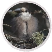 Beautiful Grey Jay Pose Round Beach Towel