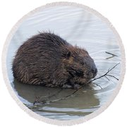 Beaver Chewing On Twig Round Beach Towel