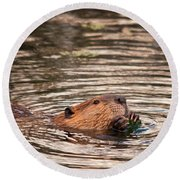 Beaver Feeding Round Beach Towel