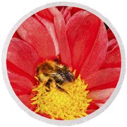 Bee On Red Dahlia Round Beach Towel