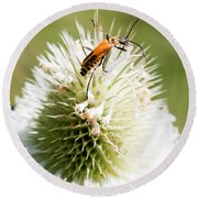 Beetle On White Spiky Wild Flower Round Beach Towel