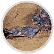 Belted Kingfisher Feeds Young Round Beach Towel