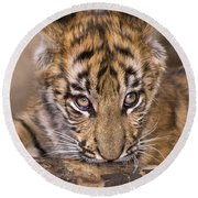 Bengal Tiger Cub And Peacock Feather Endangered Species Wildlife Rescue Round Beach Towel