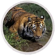 Bengal Tiger Drinking At Pond Endangered Species Wildlife Rescue Round Beach Towel