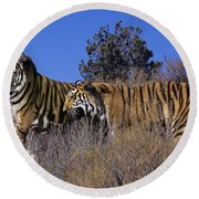 Bengal Tigers On A Grassy Hillside Endangered Species Wildlife Rescue Round Beach Towel