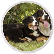 Bernese Mountain Dogs Round Beach Towel