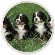 Bernese Mountain Puppies Round Beach Towel